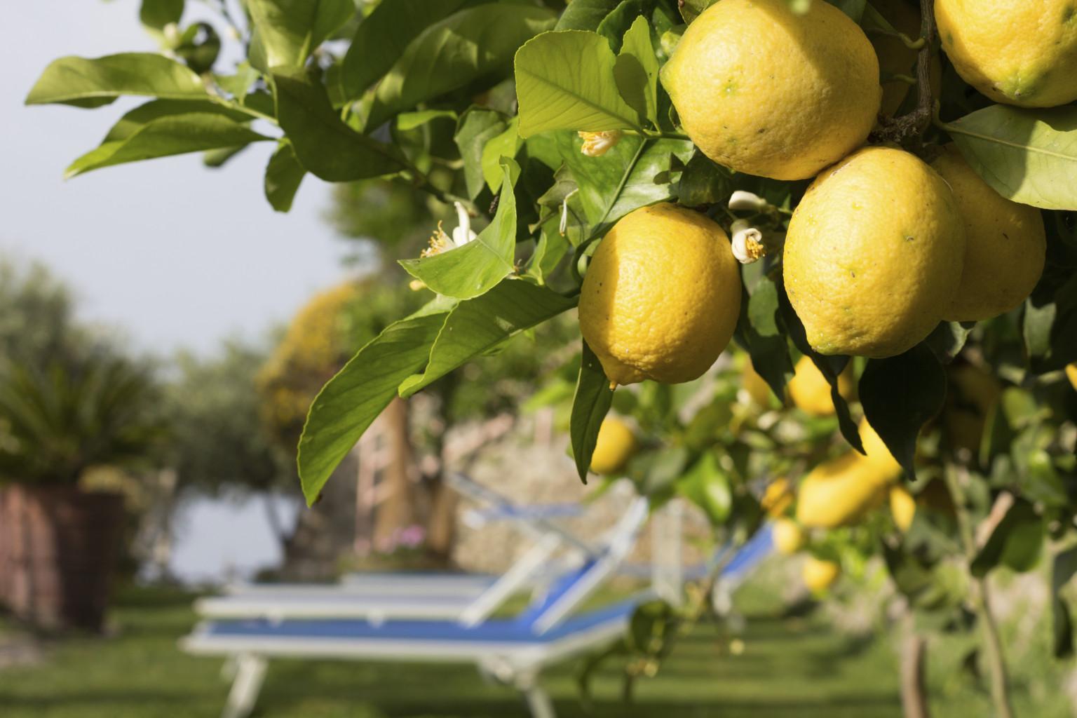 Lemons on Amalfi Coast, Italy
